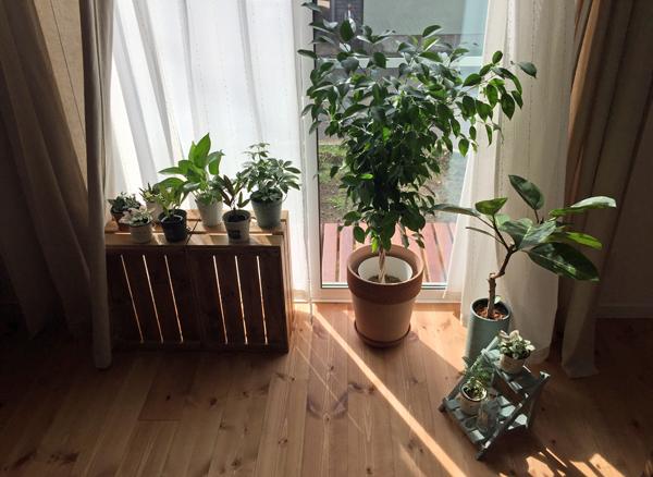 観葉植物 ひなたぼっこ