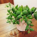 コチレドンペンデス 多肉植物